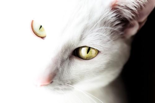 見つめる白猫