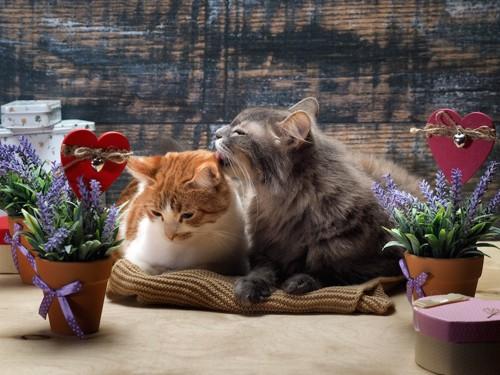 お互いの毛づくろいをする仲が良い猫