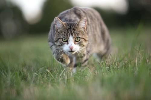 獲物を狙ってダッシュする猫
