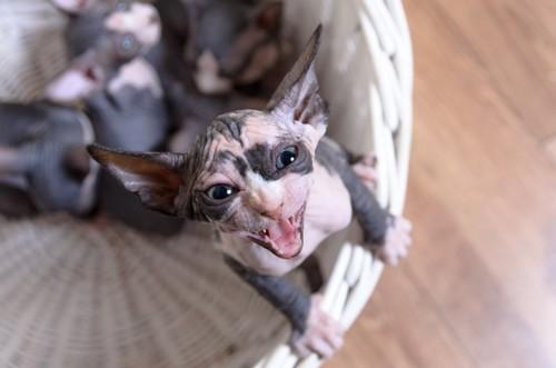 鳴くスフィンクスの子猫
