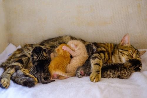 授乳中のキジトラの母猫と子猫