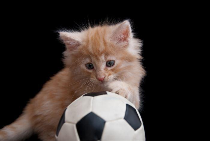 ノルウェージャンフォレストキャット子猫とボール