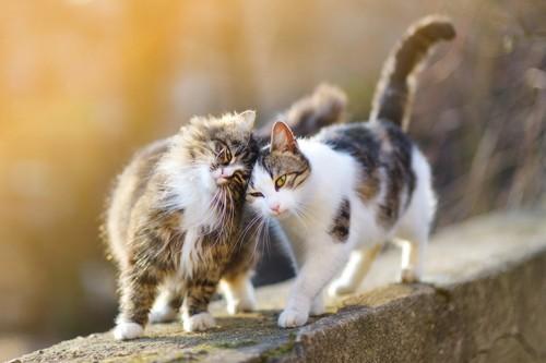 くっついて歩く二匹の猫