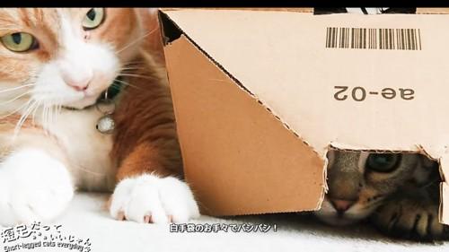箱の中の猫と隣にいる茶白の猫