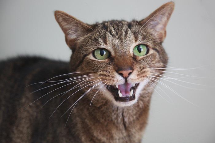 猫 発情 期 鳴き声