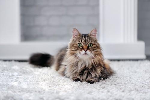 カーペットの上でくつろぐ猫