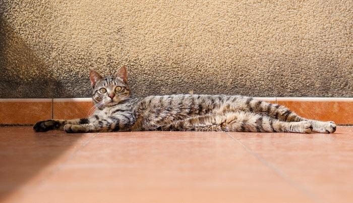 横に長い猫