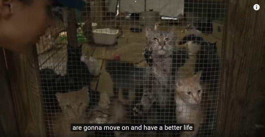 多数の猫が入れられた猫小屋をのぞく人