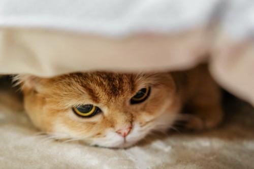布団の下に潜り込んでいる猫