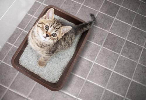 トイレから見つめてくる猫
