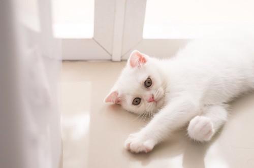窓辺で寝転んでいる白い立ち耳のスコティッシュフォールド