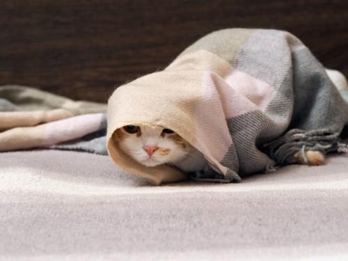 マフラーに包まった猫
