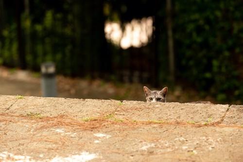 階段からこちらの様子を覗く野良猫