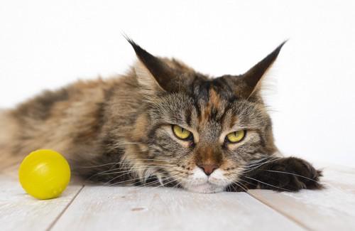 ボール遊びに飽きた猫