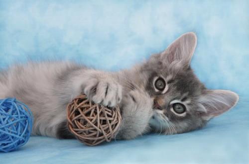 ボールのおもちゃとブルーのソマリの子猫