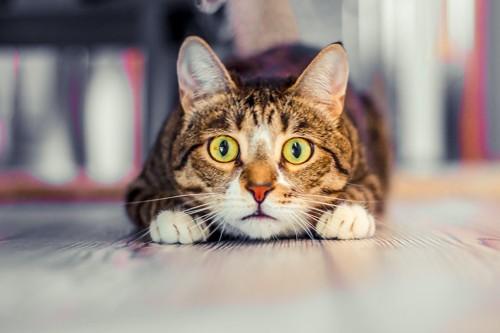 驚いた表情で伏せている猫