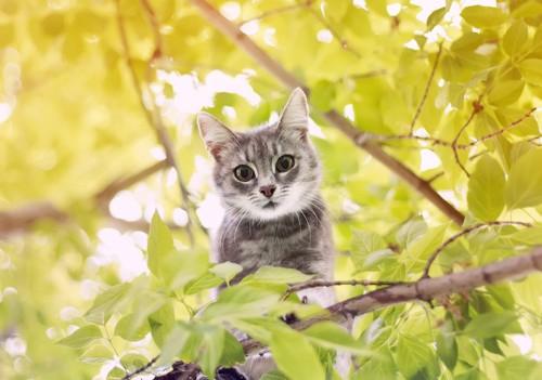 木の枝からのぞくサバ猫