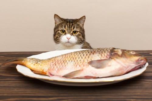 キジ白とお皿の大きな魚