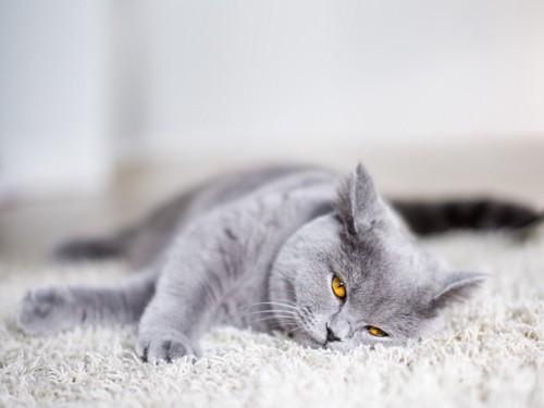ふてくされた顔でこちらを見る猫