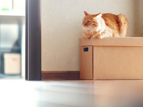 ダンボールの上に乗っている猫