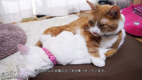 白猫と茶白猫