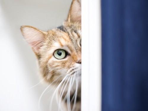 警戒して物陰から様子を伺う猫