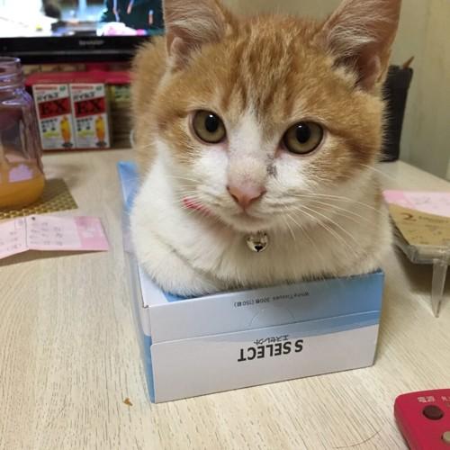 ティッシュの箱の上にセナ