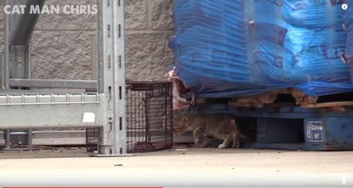 捕獲器に近寄る子猫