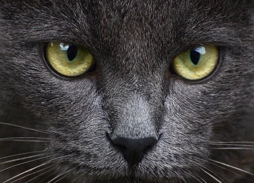 大きな瞳で見つめる猫の顔アップ