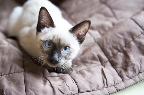 こちらを見つめる子猫のメコンボブテイル