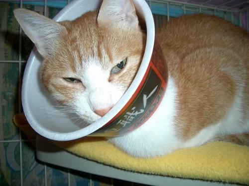 カップ麺のエリザベスカラーをした猫