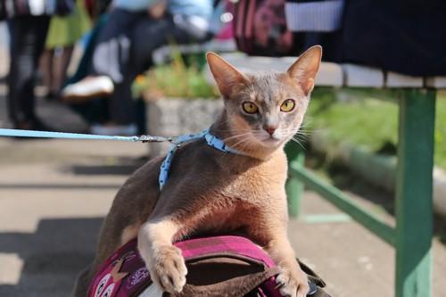 リードをつけて外にいる猫