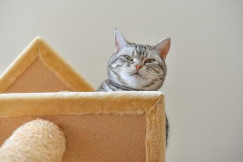 キャットタワーの上から見下ろす猫