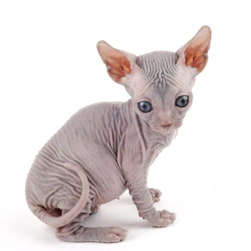 横向きに立ってこちらを見るスフィンクスの子猫