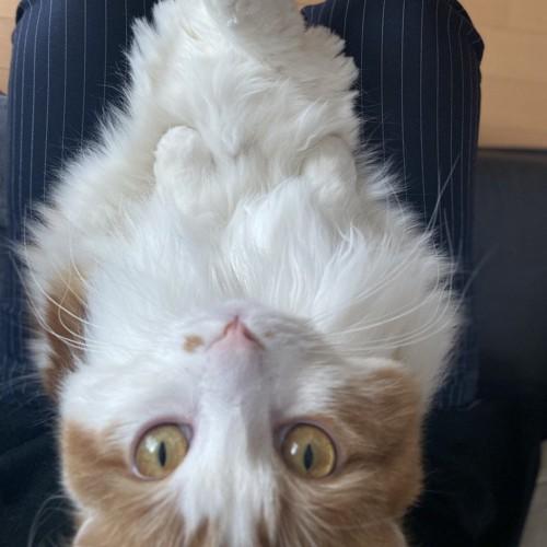 膝の上から仰向けでこちらを見る猫