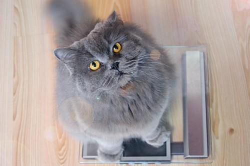 体重計に乗ってこちらを見上げる猫