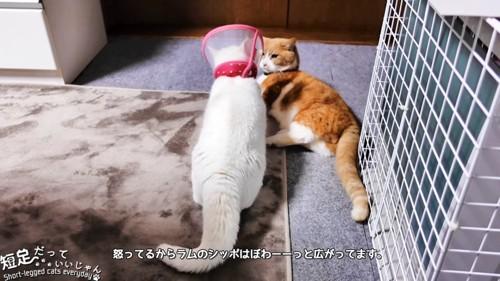 寝そべる猫と白猫