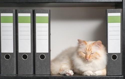 本棚で眠る猫