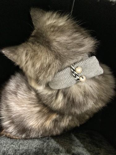 猫がマフラーをつけている姿