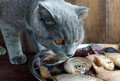 魚の匂いを嗅ぐグレーの猫