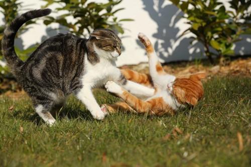 ケンカで仰向けになる猫