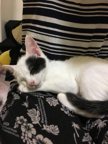 人の膝に乗って眠る子猫