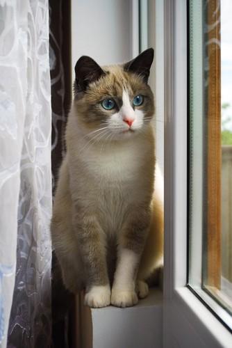 窓辺に座って外を眺めるラグドール