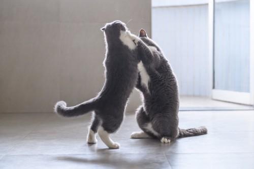 取っ組み合う2匹の猫