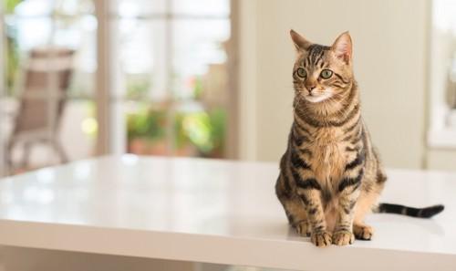 テーブルでチェック中の猫