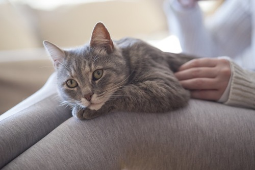 飼い主の膝の上でくつろぐ猫
