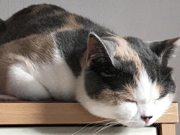 棚の上でつちのこ寝をする猫