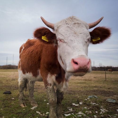 牛のつむじ