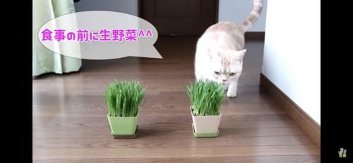 猫草まっしぐら