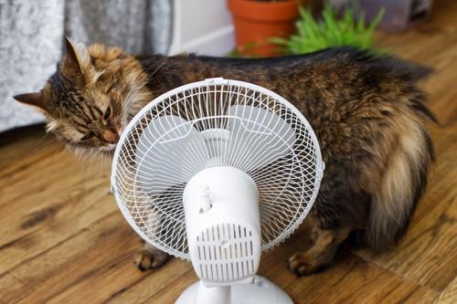 扇風機のにおいを嗅ぐ長毛猫